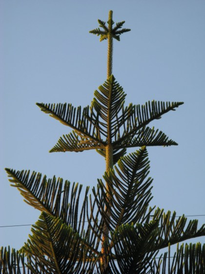 Image result for star pine