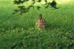 real rabbit