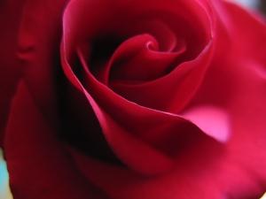 roses 162