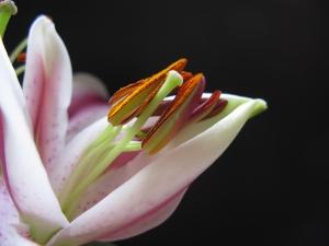 lilies 410